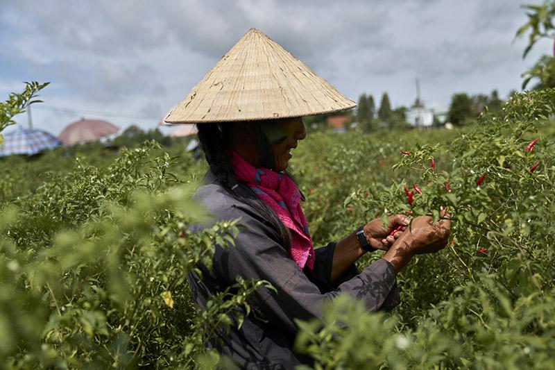 Chili-Picking-Tan-Chau_Vietnam
